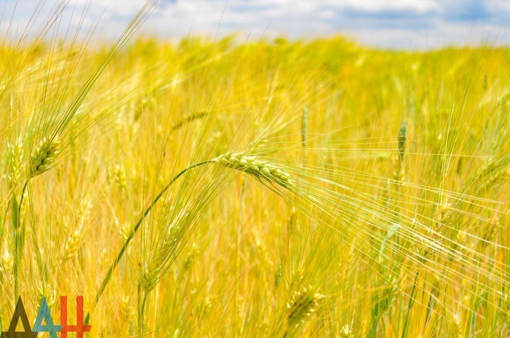 Уборку ранних зерновых завершили аграрии двух районов и двух городов ДНР – Минагропром