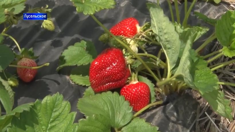 выращивание клубники в ДНР