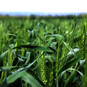 Неблагоприятные погодные условия повредили часть посевов