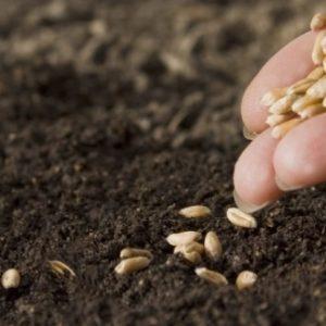 Сельскохозяйственные товаропроизводители Ясиноватой продолжают посевную кампанию озимых культур